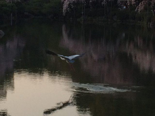 青鷺が滑空していた