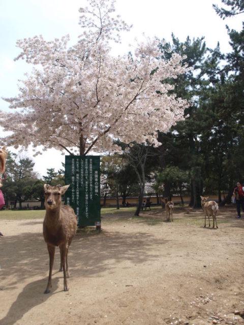 外国のお客様と鹿がワイワイやってた