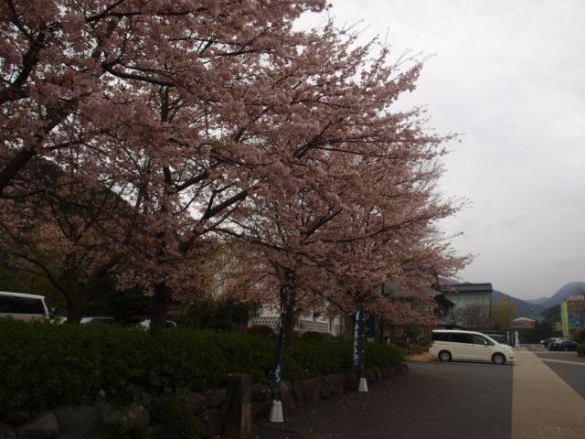 鈴廣の駐車場、河津桜が盛りだった